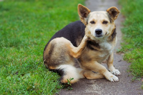 dog-itchy-skin