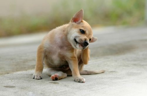 dog-scratching-fleas