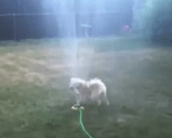 Dog Video of the Day:  Dogs taking on Sprinklers