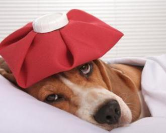 Spotting the Flu in Your Dog and Important Steps To Take
