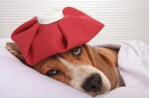 Dog Flu - Prevention And Natural Treatment, dogs, dog, pets, pet,