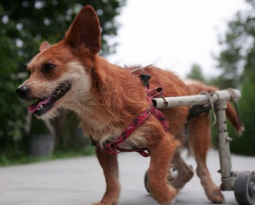 The Active Lives of Disabled Dogs