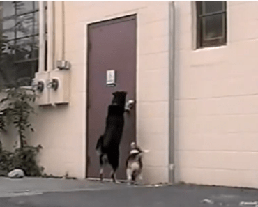 Three Legged Dog Opens door for Friend