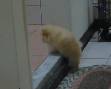 Tiny Puppy is Very Determined to Climb a Step