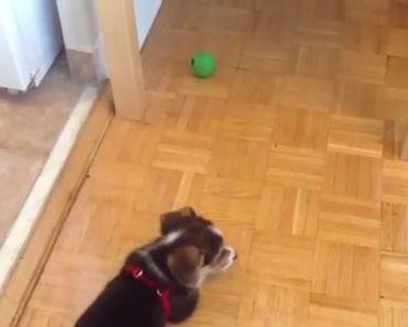 Corgi Puppy Battles with Green Ball