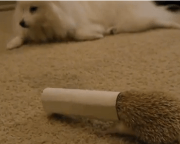 Dog has Choice Encounter with a Hedgehog