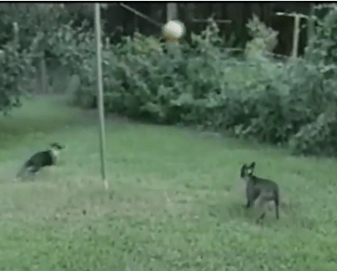 Dogs get Some Major Air Plaything Tetherball