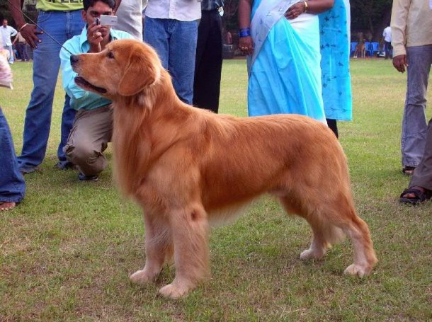 Golden_Retriever_dark_stacked