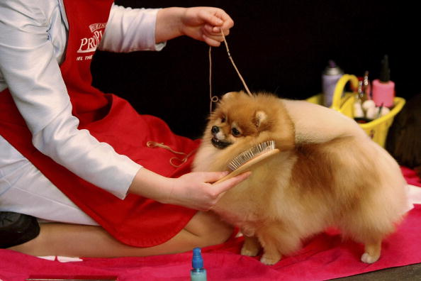 Canine Champions Compete At Prestigious Westminister Dog Show