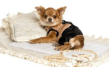 Chihuahua on bed