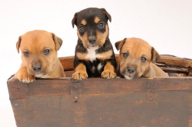Terrier puppies