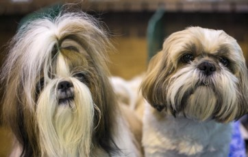 A pair of Shih Tzu dogs