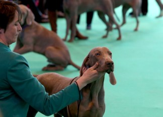 Weimaraners are judged in one of the rings