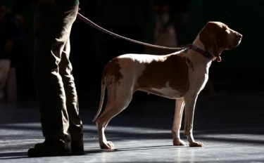 A Pointer stands with its owner