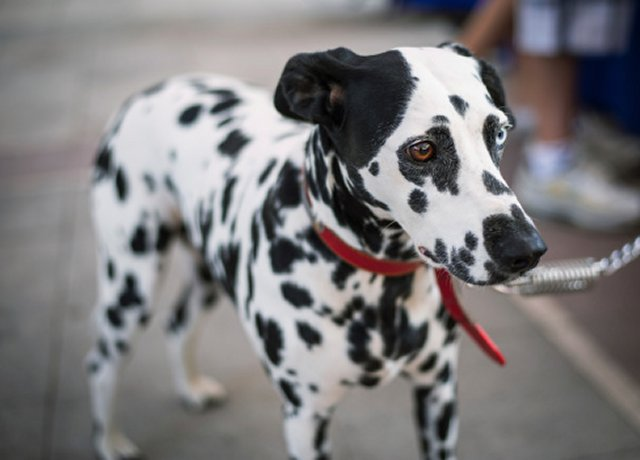 lonely dalmation