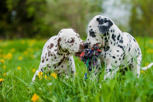 Dalmations kissing