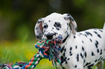 dalmation with a rope