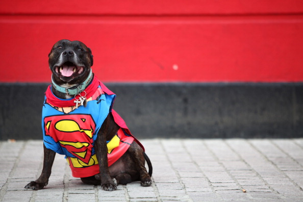 pit bull superman