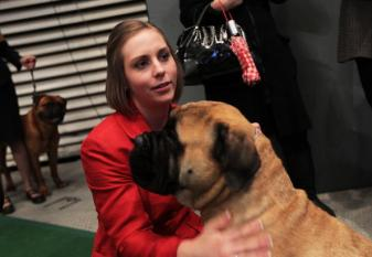 Bull Mastiff and Owner at show
