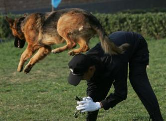 German Shepard K9 training