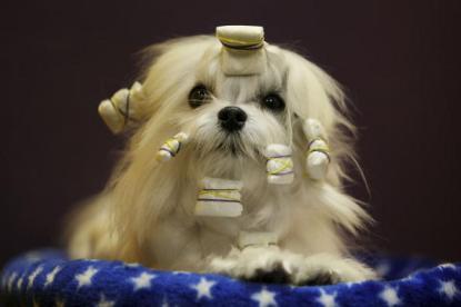 Maltese at a Dog Show