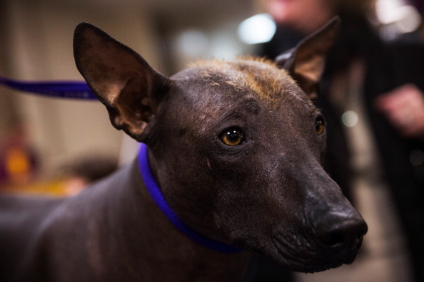 Mexican Hairless at show