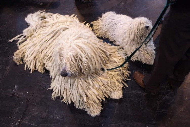 Puli dogs on leash