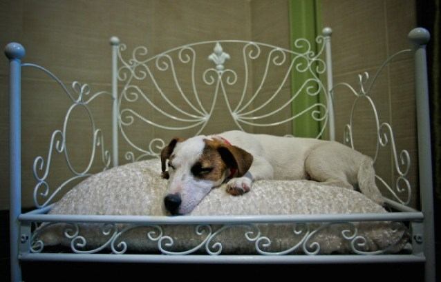 Jack Russel Terrier Lounging