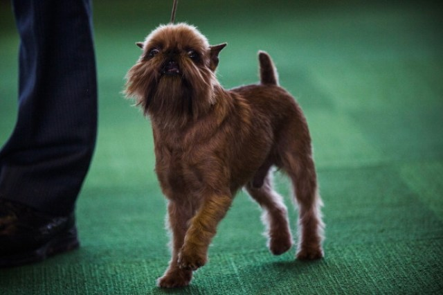 Brussells griffon at show