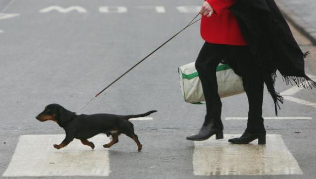 Dachshund walking on leash