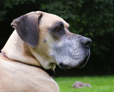 A Gallery of Great Dane Pictures