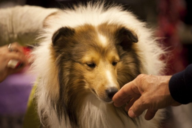 World's Top Dogs Compete At Westminster Dog Show