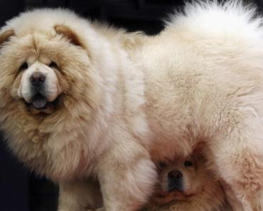 Before You Buy a Chow Chow, Know These Tips