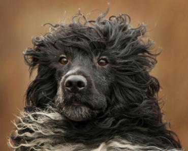 What You Need to Know about the Portugese Water Dog