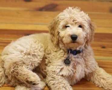 Why You Should Own a Teddy Bear Goldendoodle