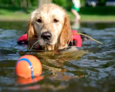 Disabled Golden Retriever Swims in a Wheelchair