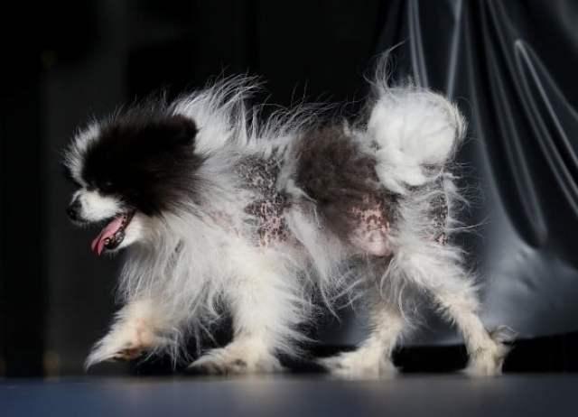 Annual Ugliest Dog Competition Held In Petaluma