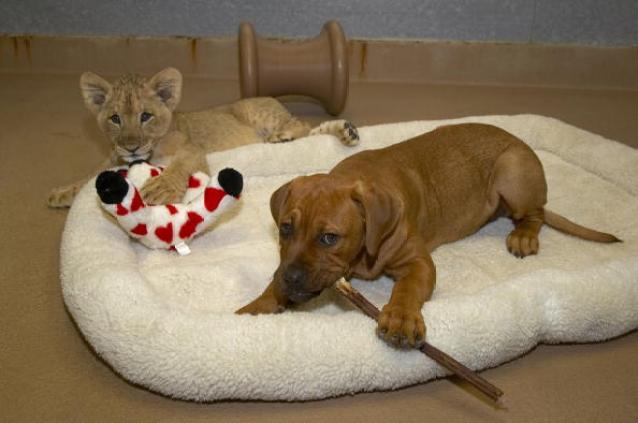 CA:  African Lion Cub Gets Befriended With Dog Puppy
