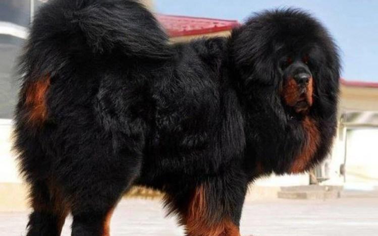 Tibetan-Mastiff-Pics