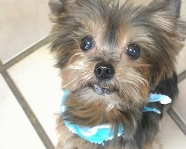Texas Yorkie Missing for Six Years is Finally Found in Indiana