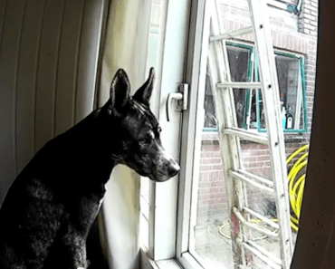 Dog Unlocks the Door and Tries To Escape:  Will He Make It?