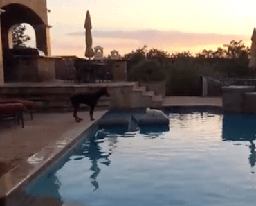 Doberman Pup Will Do Anything To Be Friends with a Maltese