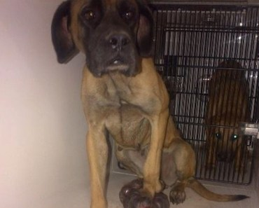 Mastiff With a Gigantic Tumor on Her Foot is Taken In