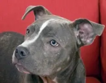 10 Things You Didn't Know about the Blue Nose Pitbull