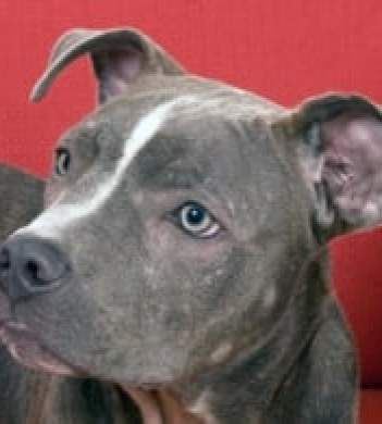 10 Things You Didnt Know About The Blue Nose Pitbull