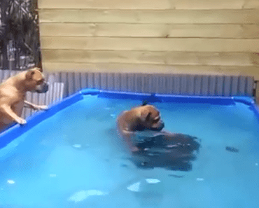 What These Two Bulldogs Did After Losing Their Toy is Genius