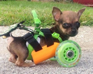 Special Wheelchair Created for Tiny Dog TurboRoo Captures Everyone's Heart