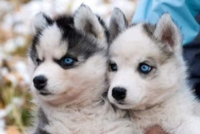 pomeranian husky puppies