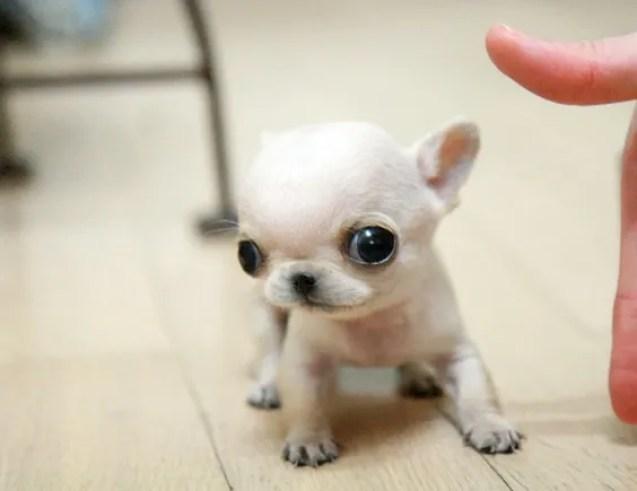 Applehead Chihuahua