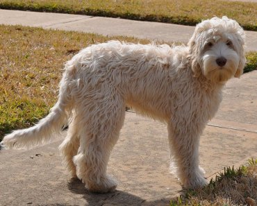 The Australian Labradoodle Is Perfect for Families and Children
